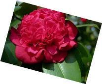 Camellia Professor Sargent, Dazzling Scarlet Red, Double
