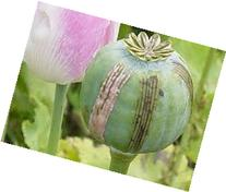 1 Ounce Afghan Blue Unwashed Poppy Seeds - Papaver