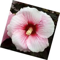10 Summer Storm Hardy Hibiscus Seeds