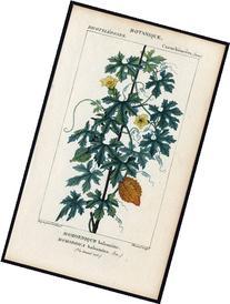 2 Rare Antique Botanical Prints-BALSAM APPLE-AFRICAN