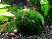 1 Giant Marimo Moss Ball by Aquatic Arts