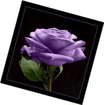 5 PURPLE ROSE Rosa Bush Shrub Perennial Flower Seeds *Comb S