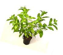 9GreenBox - One gal Night Blooming Jasmine Plant - Cestrum