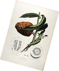 Anona Reticulata  Fruit of Java Indonesia