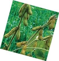 David's Garden Seeds Bean Soy Envy D105A  100 Organic Seeds