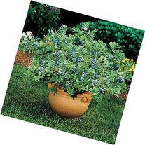 Blueberry Plant 'Sunshine Blue' - 1 Gallon Pot  - Live