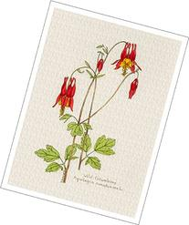 Botanical Illustration of Wild Columbine from the
