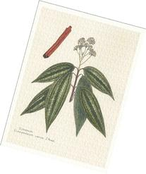 Botanical Print of Cinnamon From Culinary Herbs Group, 7 X