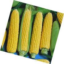 CORN, GOLDEN BEAUTY, HEIRLOOM, NON-GMO, ORGANIC 100 SEEDS,