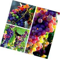FD3628 Organic Rainbow Grape Seeds Sweet Grapevine Vine Home