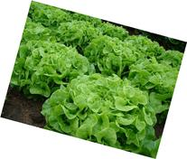 Green Oak Leaf  Heirloom Lettuce Seeds- 1,000+ Seeds