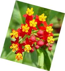 Hinterland Trading Butterfly Scarlet Milkweed Flower Seeds