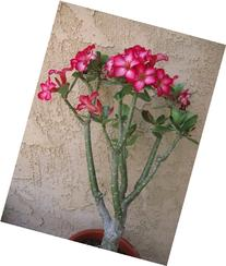 Large  Live Adenium Desert Rose House Plant Bonsai