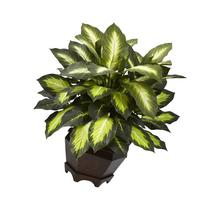 Nearly Natural 6720 Triple Golden Dieffenbachia Plant with