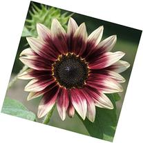 Package of 50 Seeds, Cherry Rose Sunflower  Open Pollinated