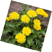 Package of 250 Seeds, Dandelion Herb  Non-GMO Seeds by Seed