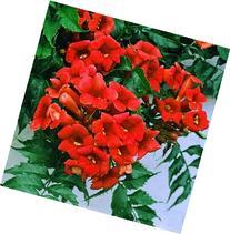 Red Trumpet Vine - Campsis x tagliabuana 'Madame Galen' -