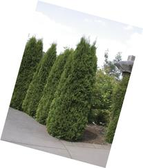 "Thuja ""Emerald Green"" occidentalis Arborvitae 4 inch pot by"