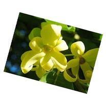 Ylang Ylang - 2680 - Premium Grade Fragrance Oil - Supply