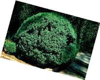 American Boxwood  Traditional evergreen hedge