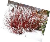 Arctic Fire Redtwig Dogwood - Cornus-NEW-Compact/Hardy-