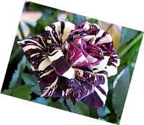 Black Dragon Rose Seeds Bush Flower Seeds - Treasuresbylee
