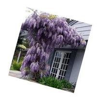 *Seeds and Things Blue Japanese Wisteria Vine 10 Seeds -