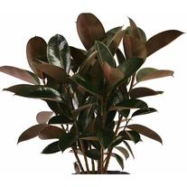 "Delray Plants Burgundy Rubber Plant in 10"" Pot"