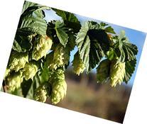 """Chinook Beer Hops Vine - Humulus - Grow your own Beer! - 4"""""""