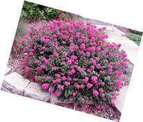 Pocomoke' Dwarf Crape Myrtle, Purple-Pink Flowers Unique