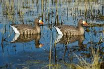 Greenhead Gear Pro-Grade Specklebelly Floaters Decoy,Active