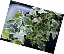 Hedera helix 'English Ivy