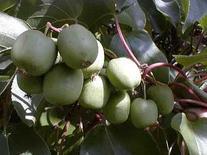 Hirt's Hardy Anna Kiwi Plant - Actinidia - FEMALE - Tasty