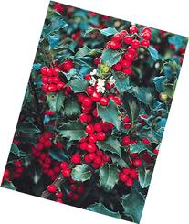 'Blue Princess' Holly - Ilex - Hardy Broadleaf Evergreen - 4