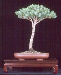 Italian Stone Pine 10 Seeds - Bonsai - Pinus pinea