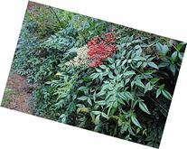 Nandiana Domestica Shrub - Heavenly Bamboo - Healthy Plant