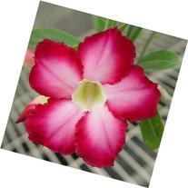 9GreenBox - Adenium Desert Blue Phoenix House Plant Bonsai