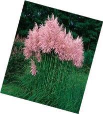 "Pink Pampas Ornamental Grass - C. selloana rosea- 4"" plant"