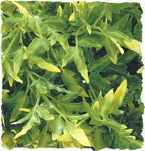 Natural Bush Bolivian Croton Plant