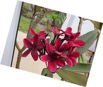 "13"" Plumeria Cutting, Single Tip, Dark Red ""Scott Pratt"