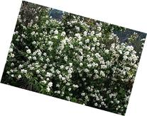 2 gallon pot, SWEET MOCK ORANGE- Amazing Citrus Fragrance,