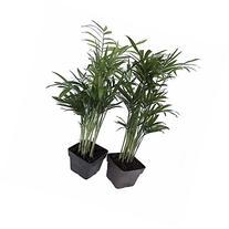 Victorian Parlor Palm 2 Plants - Chamaedorea -