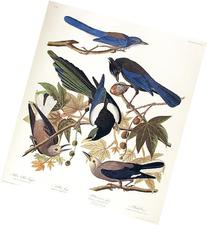 Yellow Billed Magpie, Stellers Jay, Ultramarine Jay, Clark's